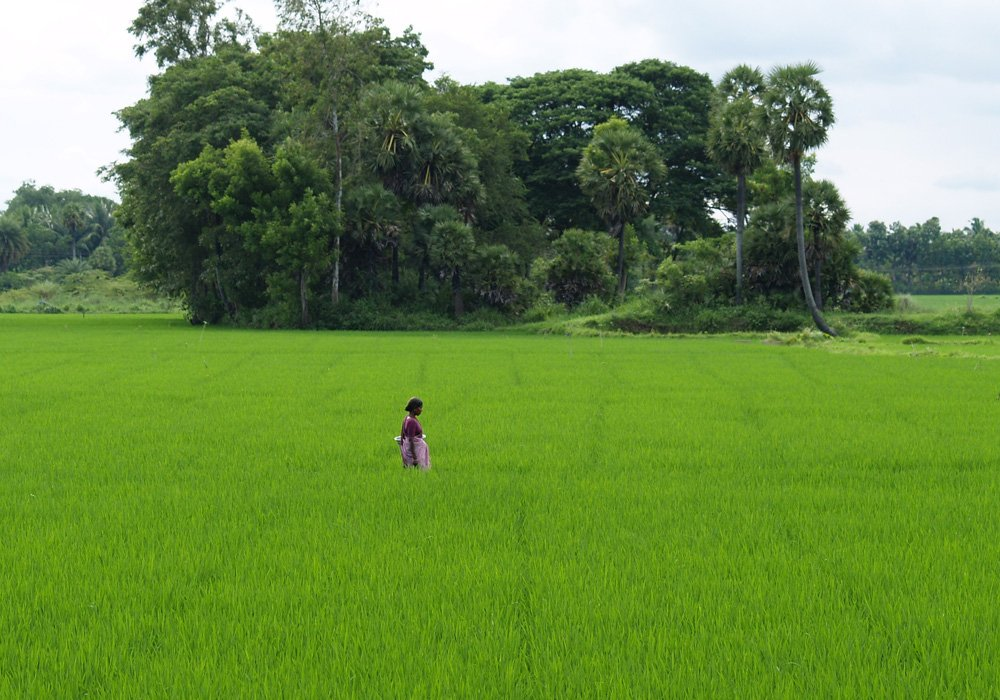 Woman walking through rice field in South India
